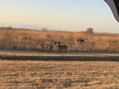 右を見ても左を見ても…鹿
