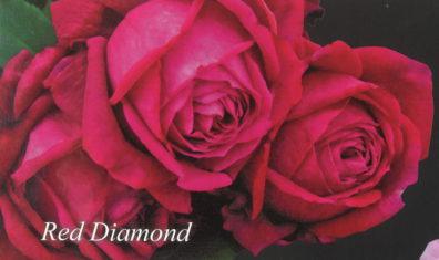 真紅の輝き「レッドダイヤモンド」