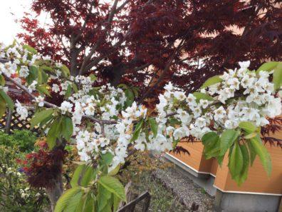 我が家のさくらんぼの花